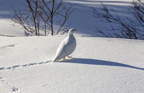 White-tailed Ptarmigan. Photo: Autumn Sky Photography/Alamy