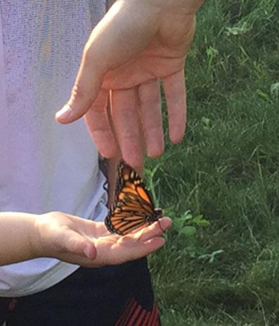 close up of Monarch butterfly during release