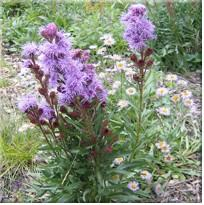 Meaddow Blazing Star
