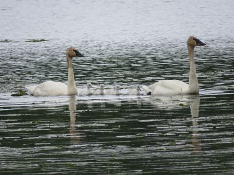 Trumpeter Swans have returned to nest on Rice Lake along Co Rd 11 for a 4th year.  This year they have 5 cygnets